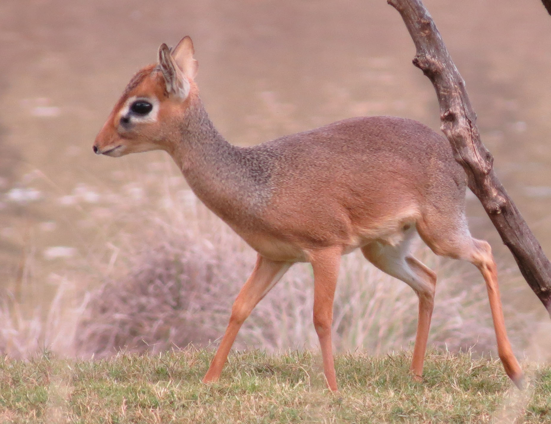Img 5356 Smallest African Deer Tiger Tales