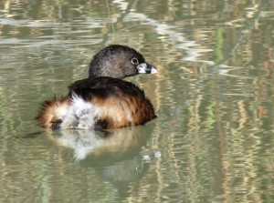 IMG_6786 Pied-billed Grebe