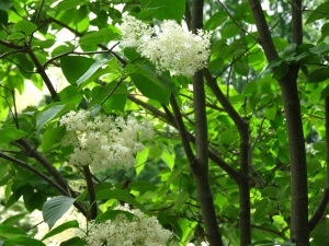 Japanese Tree Lilac (The regular lilac is Spokane City's Flower)