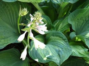 Hosta Plant flowering