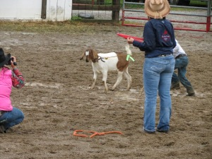 Goat Tying-following rope to tail then removing ribbon.
