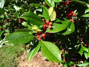 20013-10 (789) berries