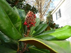 IMG_4000 Magnolia Tree fruit