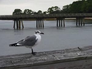 IMG_4166 Seagull black feet