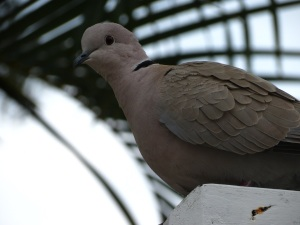 Key West pigeon