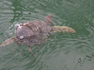 Turtle 11