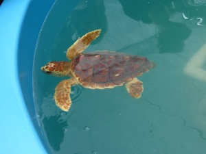 Turtle 8a