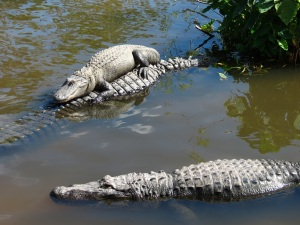Gator 16