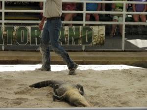 Gator 31