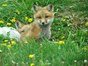 a foxes 2