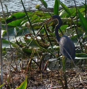 little blue heron 1