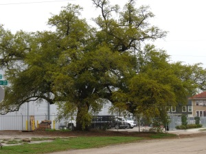 Beaumont Live Oak