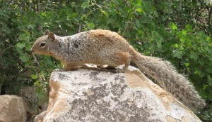 Curious squirrel.  Note his fur coloring.  We saw this in Yosemite.