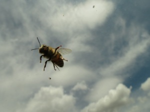 Bee on our car windshield
