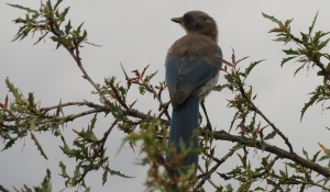 Western Scrub Jay on Desert Holly