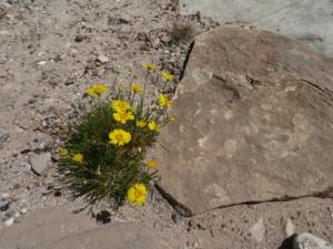 desert flowers 6