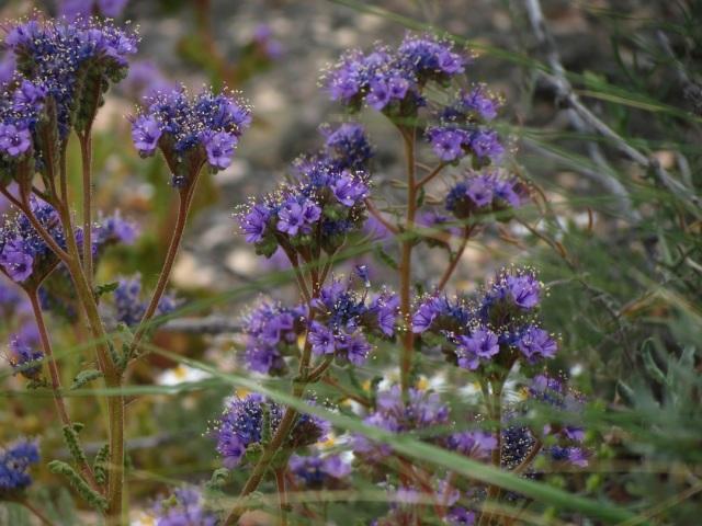 desert flowers 8