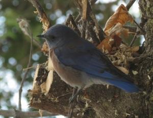 bluebird a