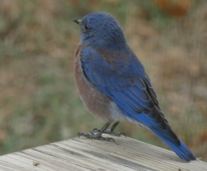 bluebird b
