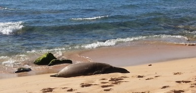 Hawaiian Monk Seal, sleeping on the shore, at foreground.