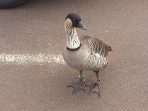 Nene-indigenous to Hawaii. It is endangered. It does not migrate. Wonder why not...