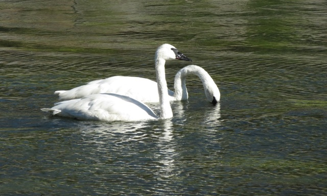 trumpeter-swans-1