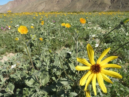 Desert Sunflower (L) and Dune Sunflower (R)
