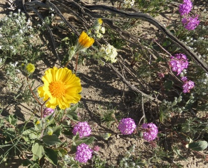 Desert Sunflower (Lg) and Sand Verbena (Sm)