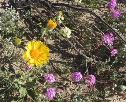 Desert Sunflower (Lg) and Sand Verbena (Sm)
